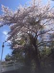 桜.jpg.jpg